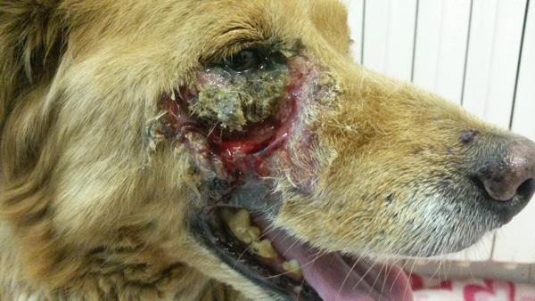 rana na koži psa i mačke