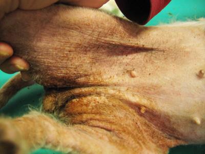 liječenje-kože-kod-pasa